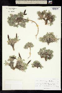 Image of Oxytropis bryophila