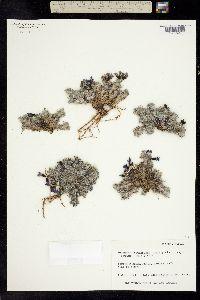Oxytropis gorodkovii image