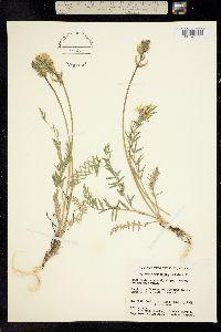 Oxytropis hyperborea image