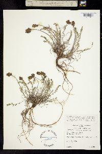 Oxytropis johannensis image