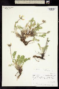 Oxytropis jordalii image