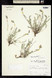 Oxytropis davisii image