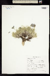 Image of Oxytropis lagopus