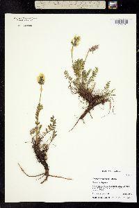 Image of Oxytropis maydelliana