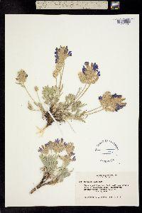Image of Oxytropis nana