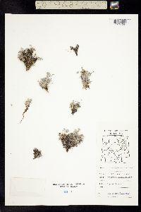 Oxytropis arctobia image
