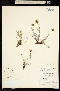 Image of Oxytropis bellii