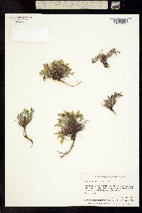 Oxytropis huddelsonii image