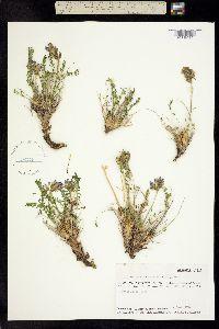 Image of Oxytropis leucantha