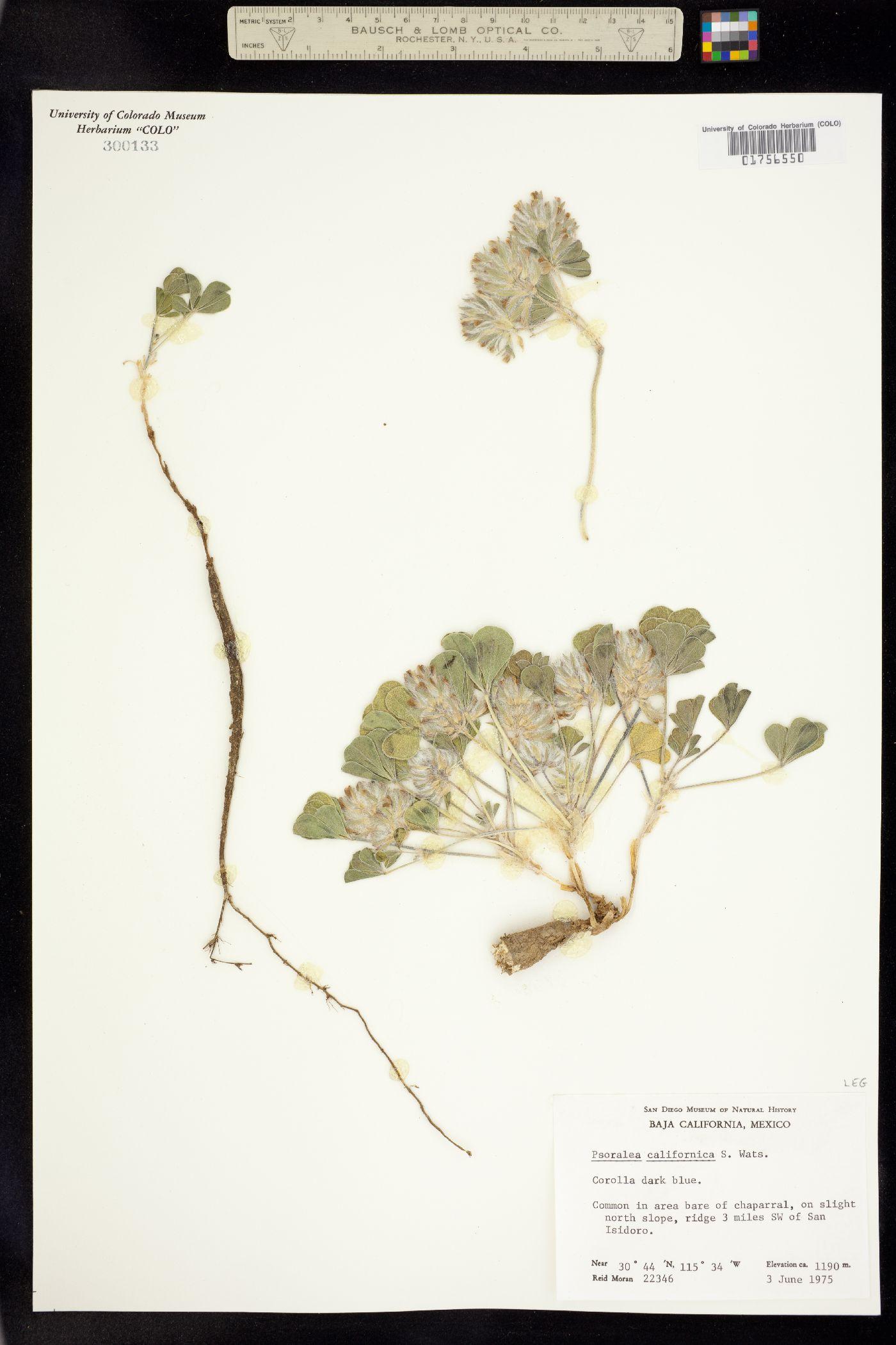 Pediomelum californicum image