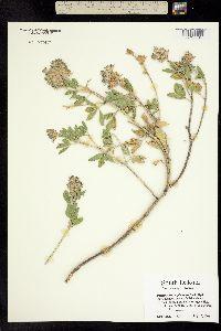 Pediomelum cuspidatum image