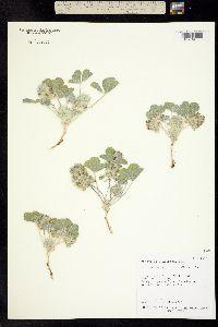 Image of Pediomelum mephiticum