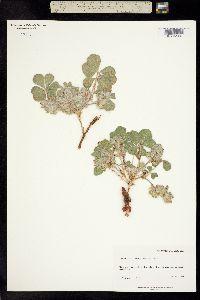 Pediomelum mephiticum image