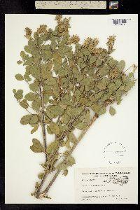 Image of Pediomelum canescens