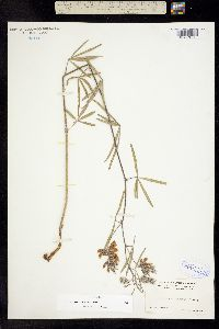 Image of Pediomelum cyphocalyx