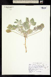 Image of Pediomelum castoreum