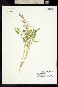 Image of Peteria thompsoniae