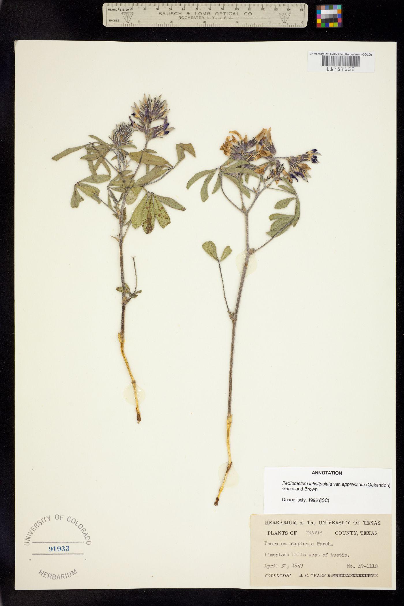 Pediomelum latestipulatum image