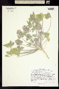 Image of Pediomelum pentaphyllum