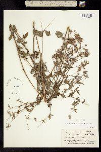 Image of Pediomelum reverchonii