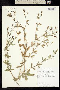 Pediomelum reverchonii image