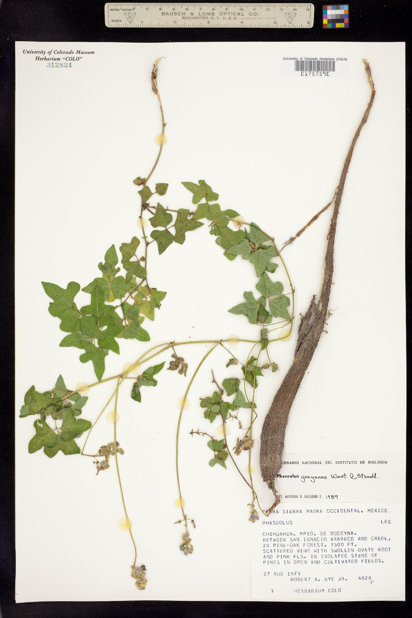 Phaseolus grayanus image