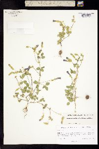 Phaseolus pauciflorus image