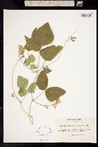 Image of Phaseolus polystachios