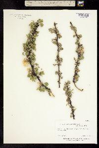 Image of Pithecellobium acatlense