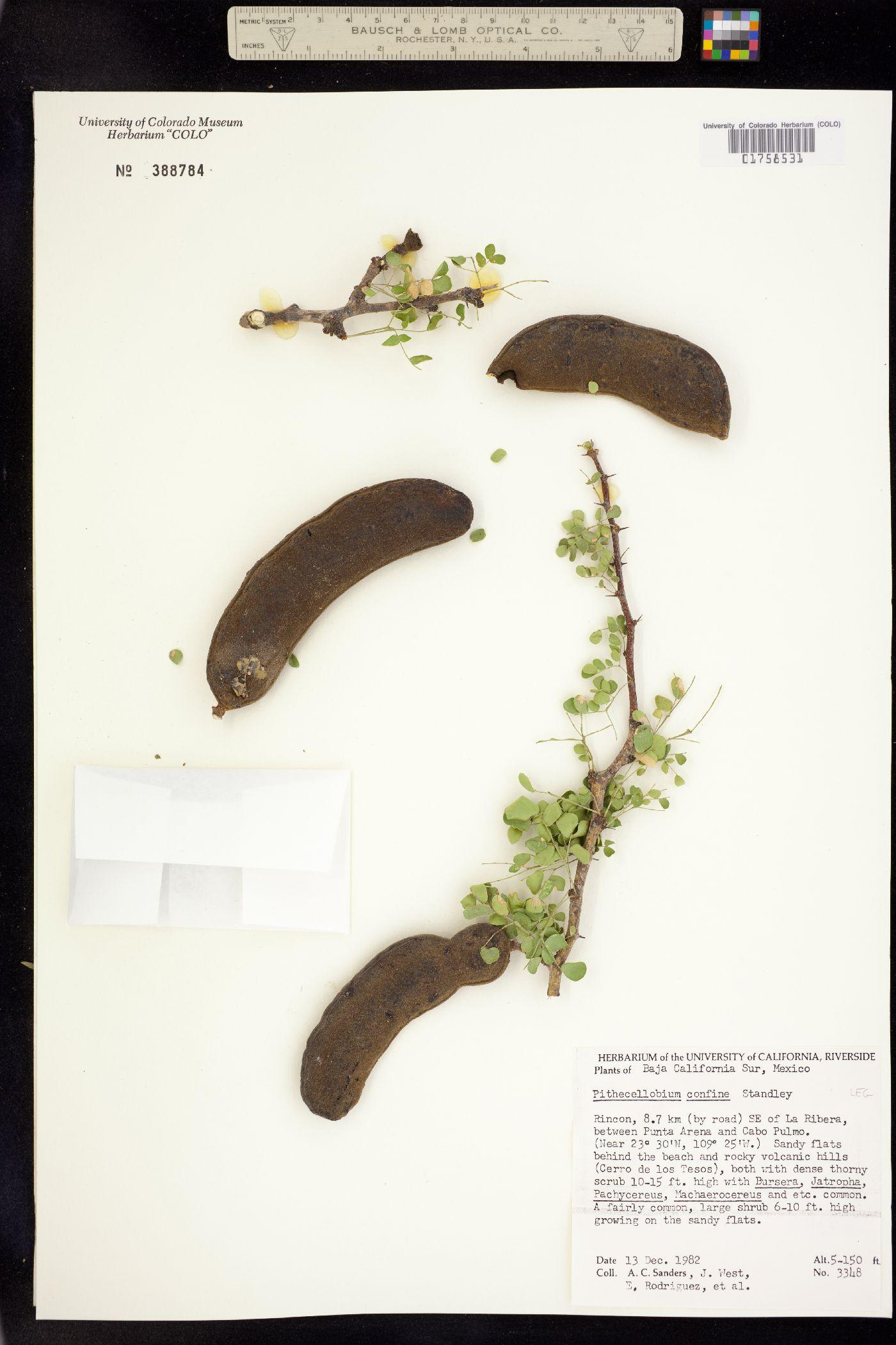 Ebenopsis confinis image