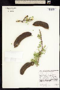 Image of Ebenopsis confinis