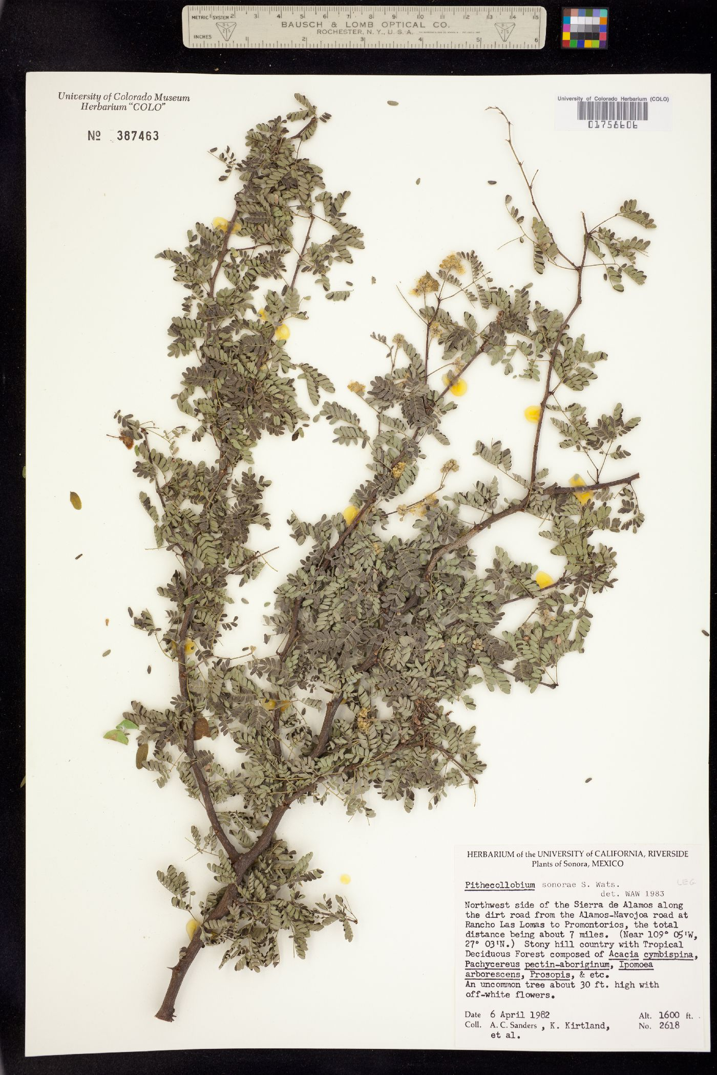 Pithecellobium unguis-cati image