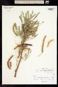 Prosopis laevigata image