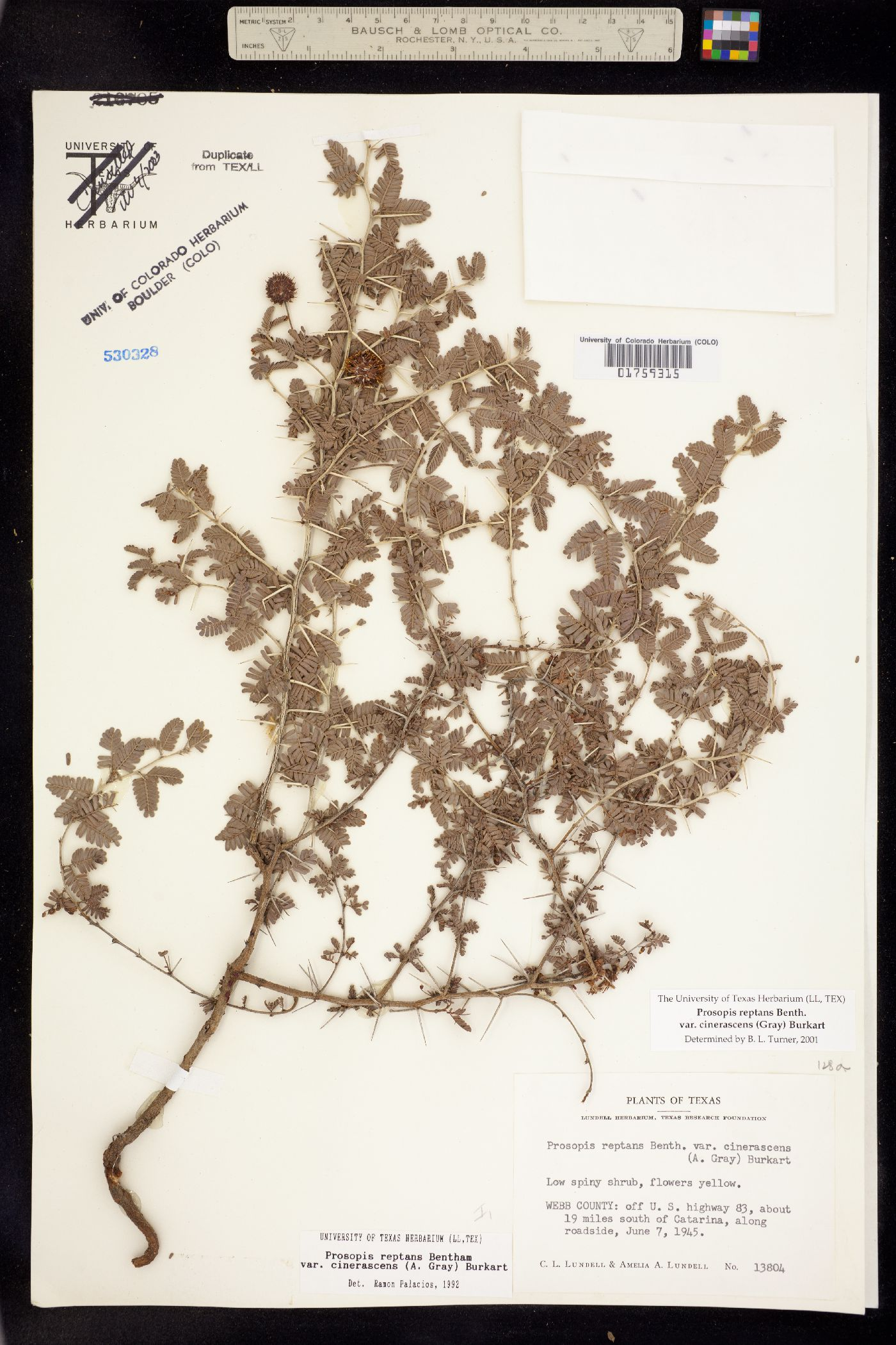 Prosopis reptans image