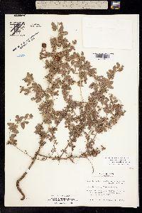 Image of Prosopis reptans