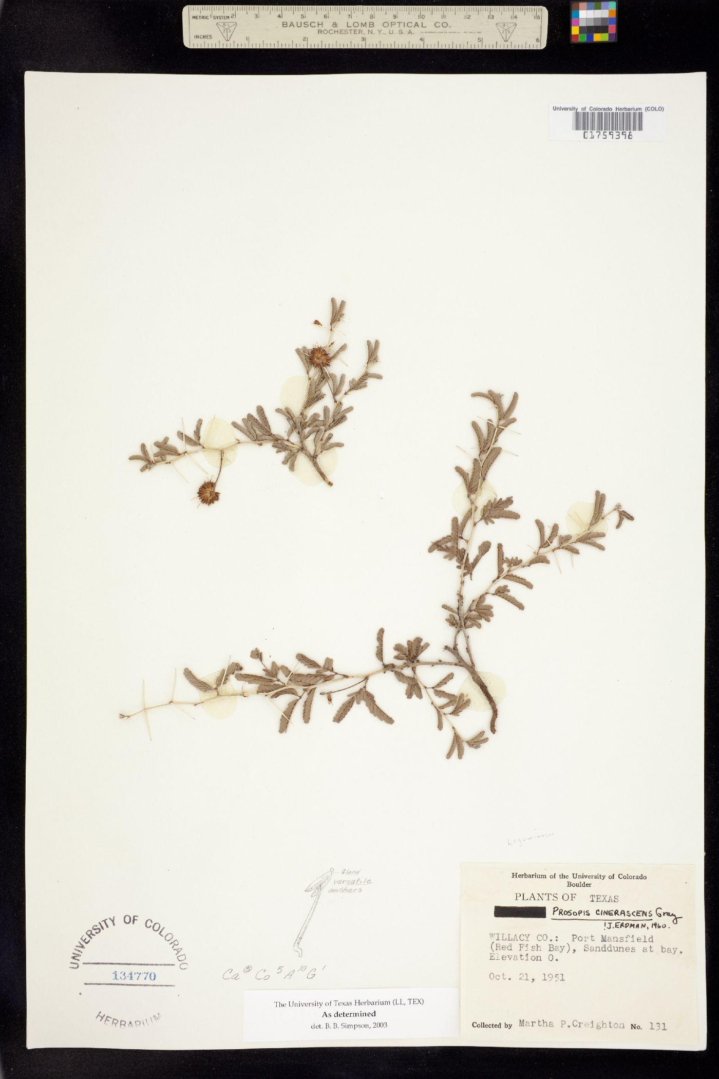 Prosopis cinerascens image