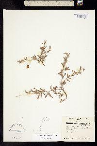 Image of Prosopis cinerascens