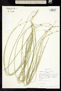 Image of Psoralidium junceum