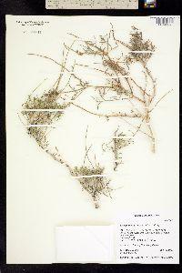 Psorothamnus fremontii image