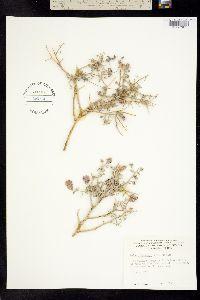 Psorothamnus polydenius image