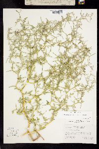 Psorothamnus kingii image