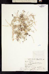 Psorothamnus schottii image