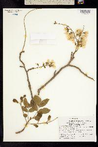 Image of Pterocarpus amphymenium