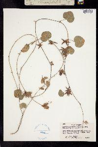 Image of Lathyrus americanus