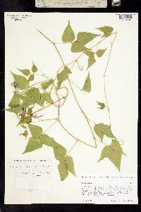 Image of Ramirezella strobilophora