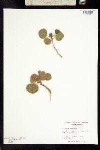 Image of Rhynchosia reniformis