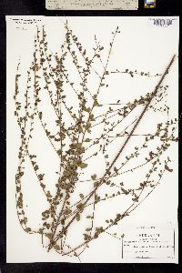 Image of Rhynchosia cytisoides