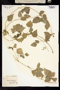 Image of Rhynchosia caribaea