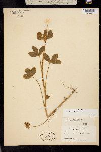 Image of Trifolium dichotomum