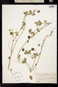 Trifolium dichotomum image